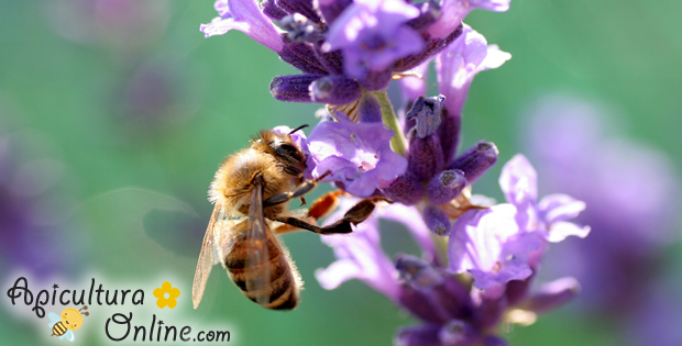 Albina pe Lavanda