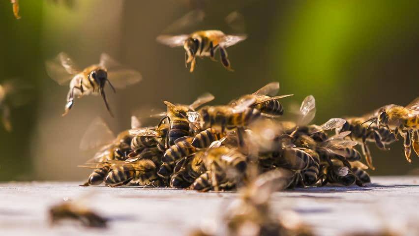 albine luptandu-se pentru miere